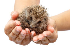Young hedgehog in human hands. Little animal needs protection Stock Image