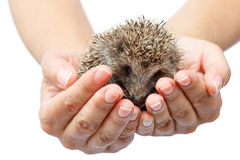 Young hedgehog in human hands. Little animal needs protection Royalty Free Stock Photography