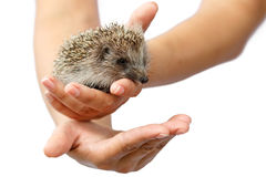 Young hedgehog in human hands. Little animal needs protection Royalty Free Stock Images