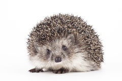 Free Young Hedgehog Isolated Background Stock Image - 83239901