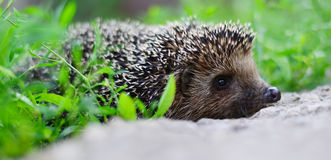 Young hedgehog in natural habitat Royalty Free Stock Image