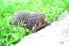 Young hedgehog in natural habitat Stock Photography