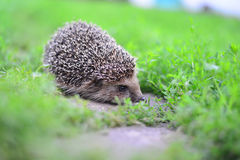 Young hedgehog in natural habitat Royalty Free Stock Photography