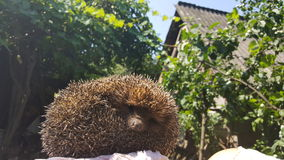 Young hedgehog in nature Royalty Free Stock Image