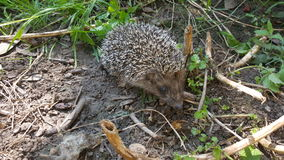 Young hedgehog Royalty Free Stock Photography