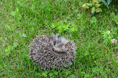 Young hedgehog protects himself Stock Image
