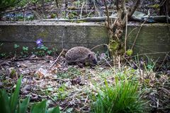 Young Hedgehog looking for Food royalty free stock images