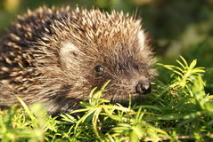 Young Hedgehog on a Sunny Day. Southern White-breasted Hedgehog (Eastern European Hedgehog). Hedgehogs are important for pest control and are/should be protected Stock Image