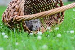 Young hedgehogin the basket Stock Photos
