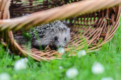 Young hedgehogin the basket Royalty Free Stock Photos