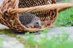 Young hedgehogin the basket Stock Photography