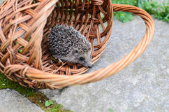Young hedgehogin the basket Royalty Free Stock Photography