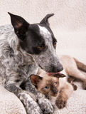 Young Heeler dog licking a small Siamese cat on the head Royalty Free Stock Photography