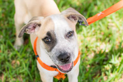 Young heeler mix puppy for adoption stock photos