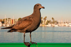 Young Heermann's Seagull. Brown Heermann's seagull portrait in morning light Royalty Free Stock Photo