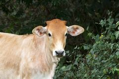 Young Heifer Royalty Free Stock Photography