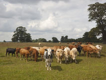 Young heifers Royalty Free Stock Photo