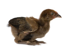 Young Hen from Benin. A young hen from Benin in front of a white background royalty free stock photos
