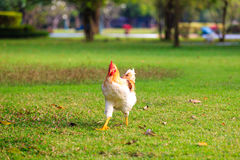 Young Hen on Green Grass , Bangkok in Thailand Royalty Free Stock Image