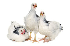 Young hens Royalty Free Stock Photo