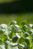 Young herb plants of the borage seedling Royalty Free Stock Photo