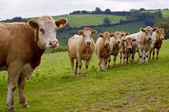 Young Herd. An image of a young herd of calves looking curiously towards you with a rural background royalty free stock photography