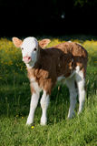 Young Hereford calf Royalty Free Stock Photography