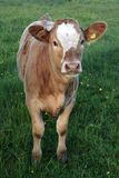 Young Hereford Calf Royalty Free Stock Photo