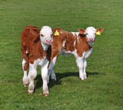 Young Hereford Calves in an English Meadow. Young Hereford Calves standing in an English Meadow Royalty Free Stock Photos