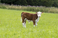 Young Hereford male Calf Stock Photo