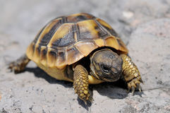 Young Herman's tortoise stock photo