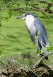 Young Heron. A young heron surveys his surroundings Royalty Free Stock Photos