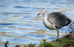 Young Heron Bird Royalty Free Stock Image