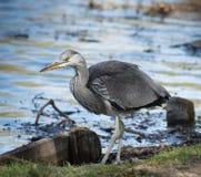 Young Heron Bird Stock Images