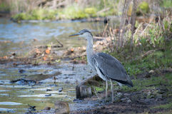 Young Heron Bird Royalty Free Stock Photo