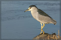 Young Heron Royalty Free Stock Images