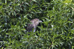Young heron or egret night sitting in a green bush Royalty Free Stock Photo