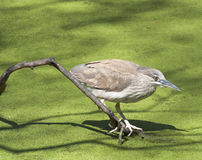 Young Heron. A young Heron searches for food Stock Image