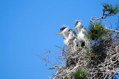 Young heron. Two yong herons stand in nest on pine tree. Scientific name: Ardea cinerea Royalty Free Stock Photo