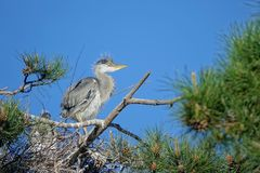 Young heron. A yong heron stands on pine tree. Scientific name: Ardea cinerea Royalty Free Stock Photography