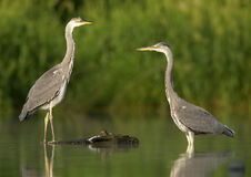 Young herons. Photo of two young herons Royalty Free Stock Photo