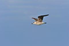 Young Herring gull Stock Image
