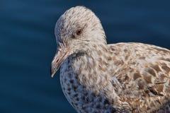 Young Herring Gull Stock Photos