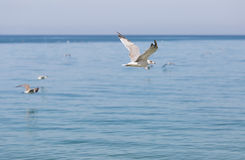 Young herring gull flying along the sea Stock Image