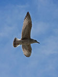 Young herring gull flying on the blue sky Royalty Free Stock Photos
