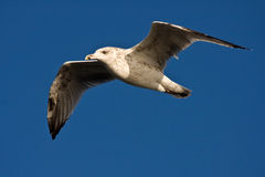Young herring gull flying on the blue sky Stock Photography