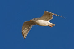 Young herring gull flying on the blue sky Royalty Free Stock Images