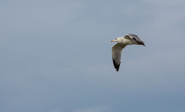Young Herring Gull In Flight Royalty Free Stock Images