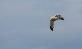 Young Herring Gull In Flight