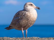 Young herring gull standing at seaside Royalty Free Stock Images